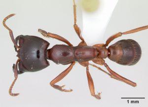 Dorylus виды кочевых муравьев