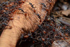 поавдки муравьев кочевников