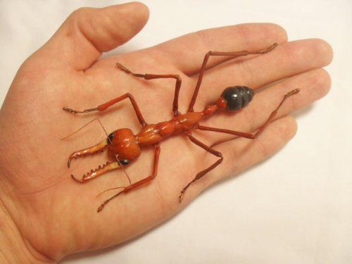 муравьи бульдоги