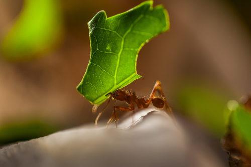 листорезы муравьи