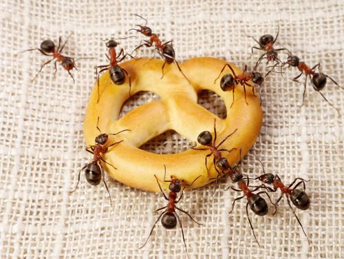 что едят муравьи