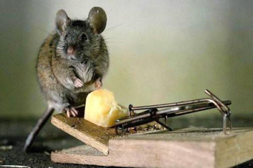 избавиться от мышей под натяжным потолком