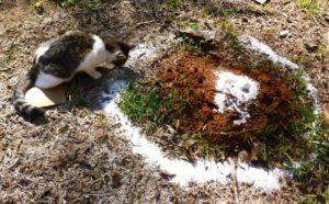 манная крупа от муравьев