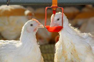 Способы борьбы с куриными вшами