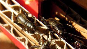 Виды квартирных муравьев кампонотусы