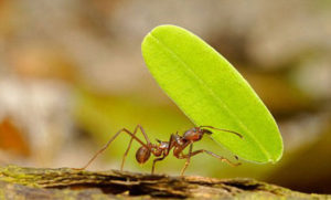Методы защиты от муравьев-листорезов