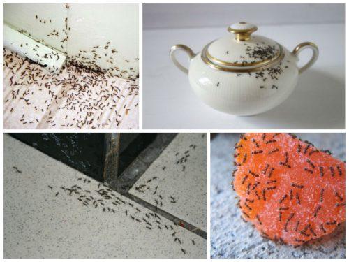 как найти гнездо муравьев в квартире