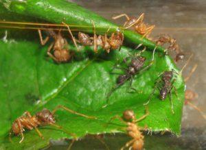 Как живут муравьи-листорезы