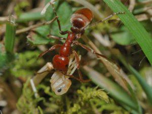 Польза и вред муравьев-амазонок