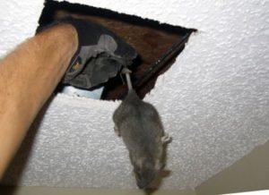 Выманивание грызунов из потолка