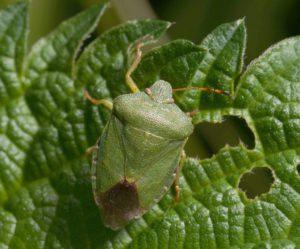 Вред от ароматного насекомого