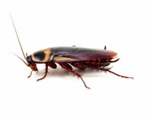 Почему тараканы нападают на человека
