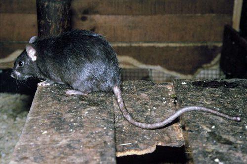 Чем могут быть опасны крысы