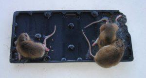 Самостоятельная борьба с крысами