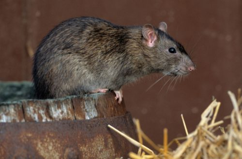 Отрава для крыс и мышей