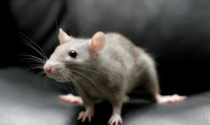 мыши и крысы в доме