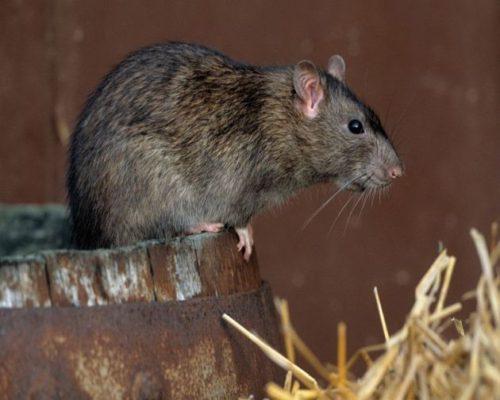 крысы на участке