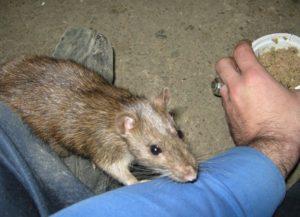 Нападают ли крысы на человека