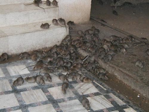Как избавиться от крыс в подъезде