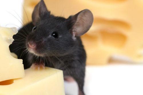заговоры от мышей и крыс