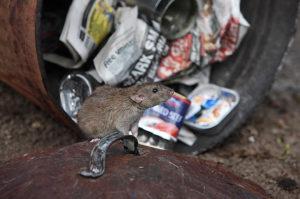 Какие болезни передают крысы