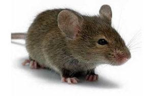 Действие звуковых волн на мышей