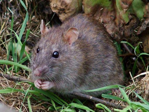 Распространение и размножение крыс