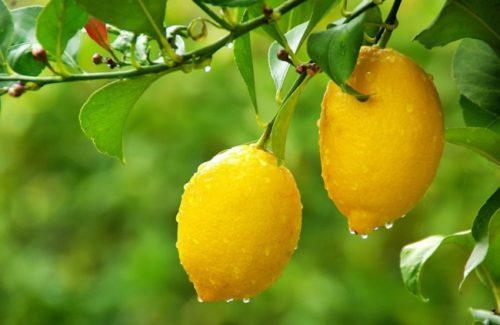 Как избавиться от паутинного клеща на лимоне