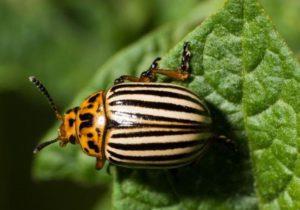 борется с колорадским жуком