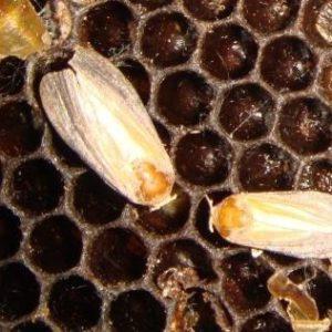 Как размножается насекомое