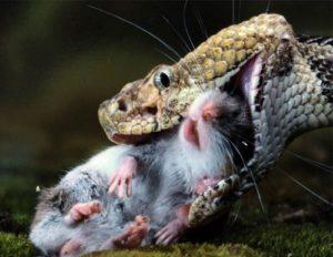 Змея ловец грызунов-вредителей