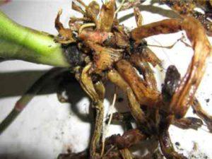 гниет корень из-за клещей