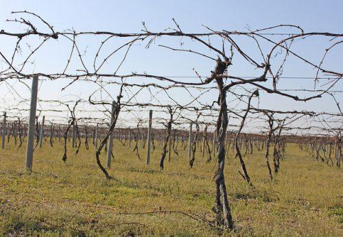 Как бороться с виноградным клещом