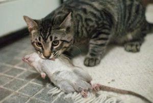 Как избавиться от крыс самостоятельно