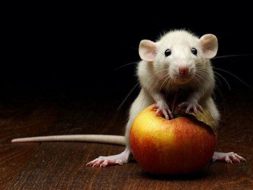 избавиться от крыс в квартире