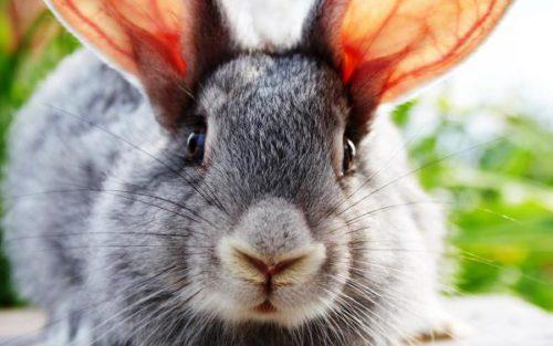 Псороптоз (ушной клещ) у кроликов