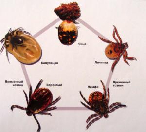 Жизненный цикл клещей