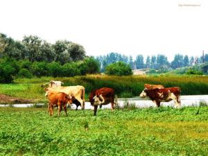 Скот - кормовая база для клещей