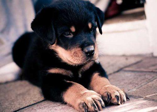 чем обработать собаку от блох