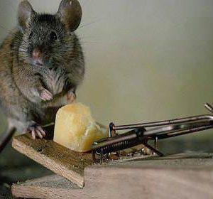 Важные правила при отлове крыс