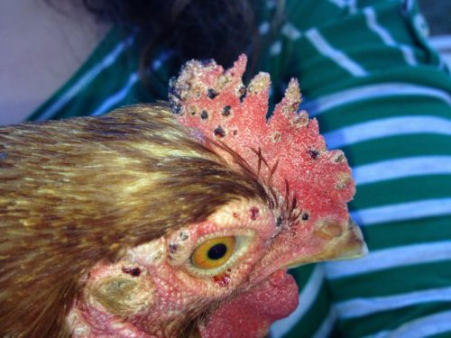 Лечение куриного клеща