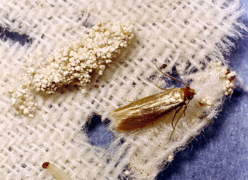Как выглядят личинки моли