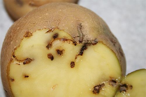 Как избавиться от картофельной моли