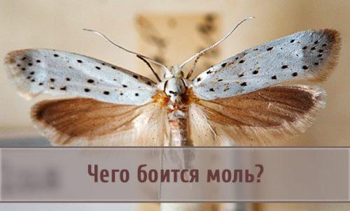 Чего боится моль и ее личинки