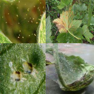 опасность паразита для смородины