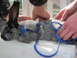 Можно ли кроликам носить ошейники против блох