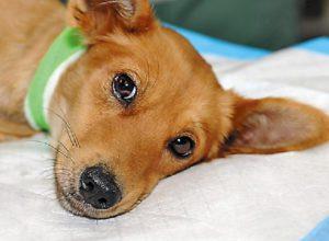 Признаки укуса энцефалитного клеща у собаки