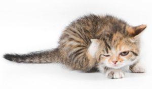 Признаки появления блох у кошки