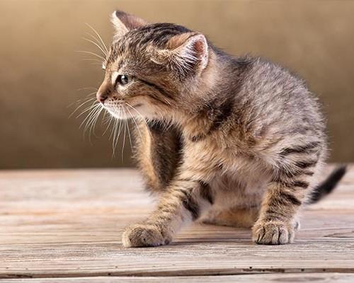 Почему у домашней кошки появились блохи