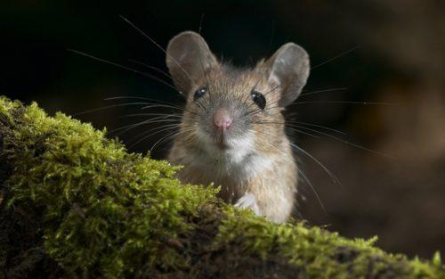 Чем отпугнуть мышей из дома